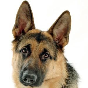 Собака (немецкая овчарка). Фото: dic.academic.ru
