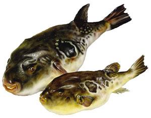 Пара рыб Фугу. Фото: susi.ru
