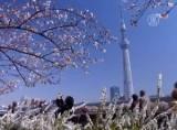 Цветение сакуры в Токио. Кадр NTDTV