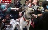 Филиппинская собака-герой Кабанг. Кадр Правда.ру