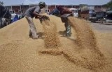 Индусы выгружают зерно. Фото: agrotimes.net