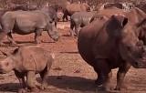 Южноафриканские носороги. Кадр NTDTV