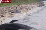 Мёртвые дельфины на побережье Эверглейдс, США. Кадр pravda.ru