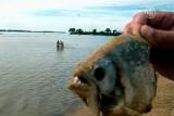 Хищная рыба паломета. Кадр NTDTV