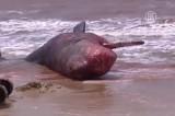 Мёртвый кашалот на пляже в Уругвае. Кадр NTDTV