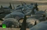 Чёрные дельфины (гринды) попали в песчаную ловушку в Новой Зеландии. Кадр RT