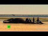 В Австралии на берег выбросились 7 кашалотов