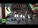 В зоопарке Красноярска показали новорожденных детенышей зебр